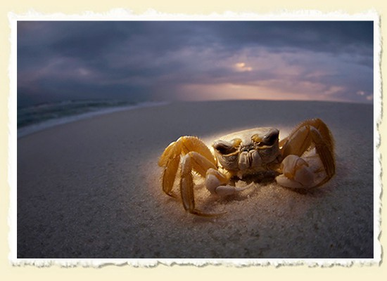 Ghost Crab • Gulf Islands National Seashore